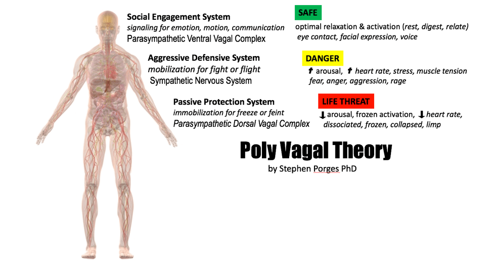 PORGES' Poly-Vagal Theory: relaxing our face, chest & belly indicate safety, emotional vulnerability & connection